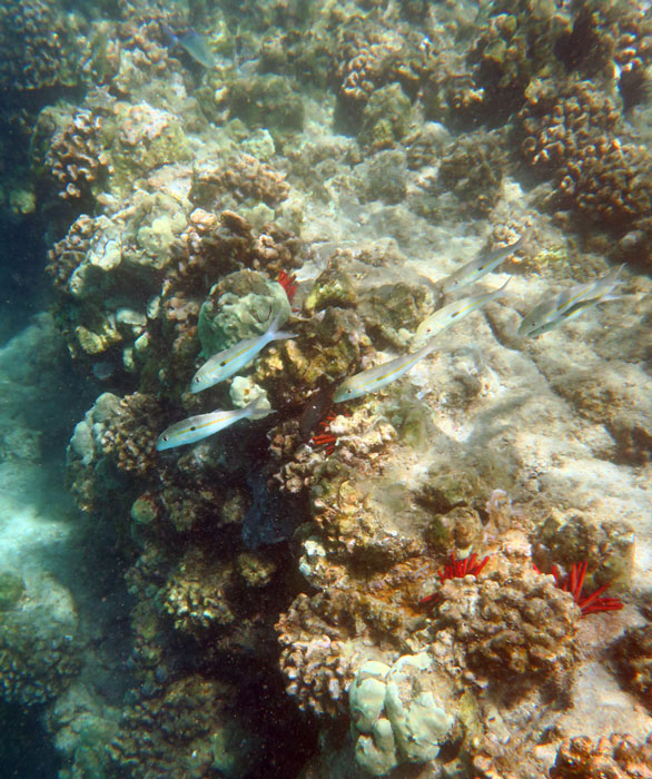 There are fish and urchins along the rocky points at Hapuna Beach, but not much healthy coral.