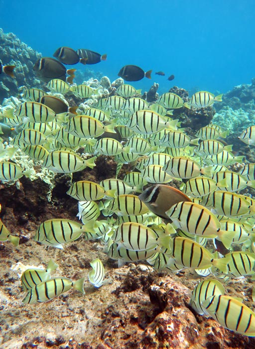 One of the schools of Convict Tang we saw while snorkeling at Honolua Bay.