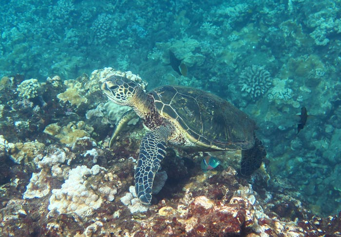 Swim with turtles like this one while snorkeling Honolua Bay.