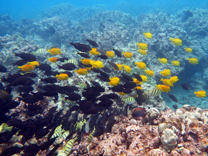 Big mixed school of tangs we found roaming the reef at Kahekili.