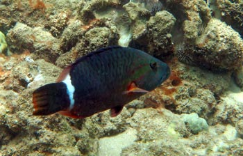 Ringtail Wrasse at Kahekili