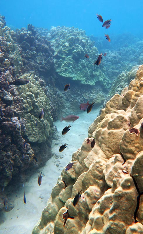 School of Blackfin Chromis, and others, hanging around a coral head at Kahekili Beach.