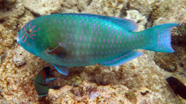 Stareye Parrotfish we saw while snorkeling Kapalua Beach.