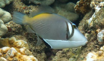 Lei Triggerfish at Kapalua Beach