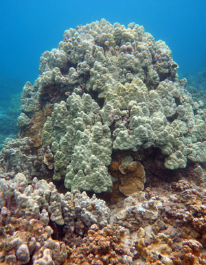 There are a few healthy coral heads you can see snorkeling at Kapalua Beach.