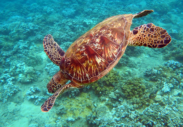 You can see sea turtles when you snorkel Kapalua Beach.