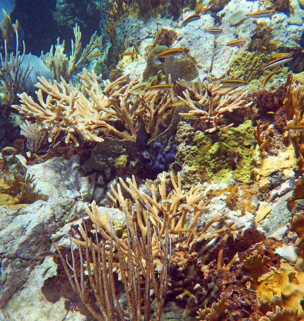 Staghorn, other hard corals and soft corals on the healthy reef at Kiddel Bay