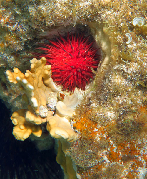 Rock Boring Urchin and Fire Coral