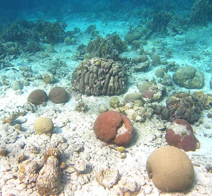Shallow Corals