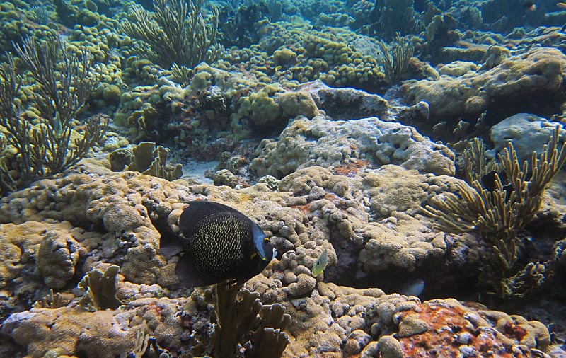 French Angelfish & Corals