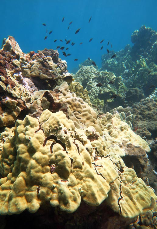 A school of chromis hover over the coral reef at Po'olenalena Beach.