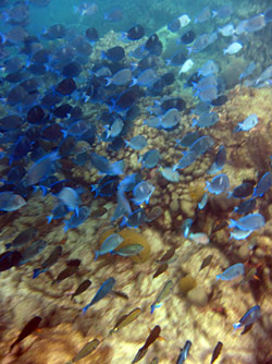 School Of Blue Tang At Puerto Chiquito