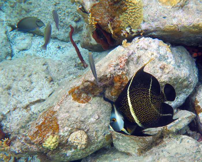 Intermediate Phase French Angelfish at Salt Pond Bay