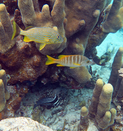 Spotted Drum, Schoolmaster Snapper and Bluestriped Grunt sheltering in a Pillar Coral at Salt Pond Bay