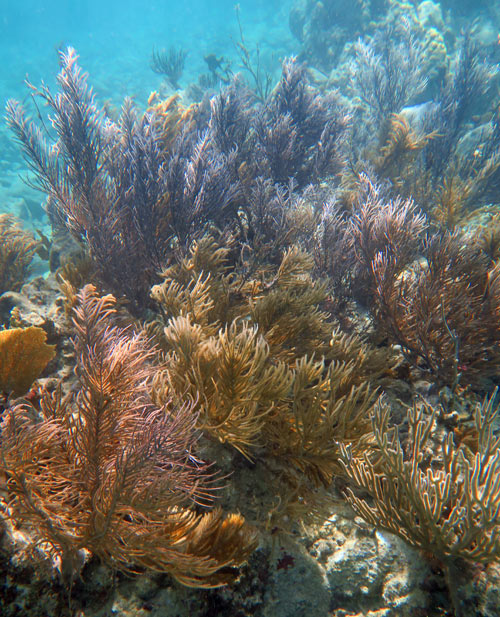 The soft coral garden on the left side of Trunk Cay