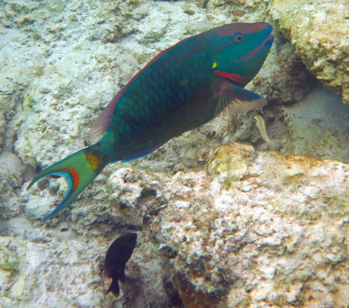 Colorful Stoplight Parrotfish