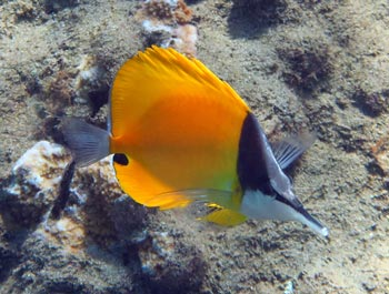 Forceps Butterflyfish we saw while snorkeling Wailea Beach