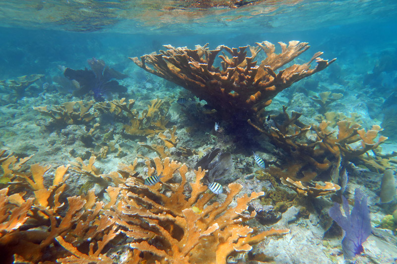 Healthy Elkhorn Corals in the shallows around Waterlemon Cay