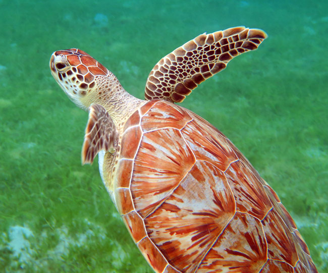 Beautiful young turtle we found in front of Waterlemon Beach