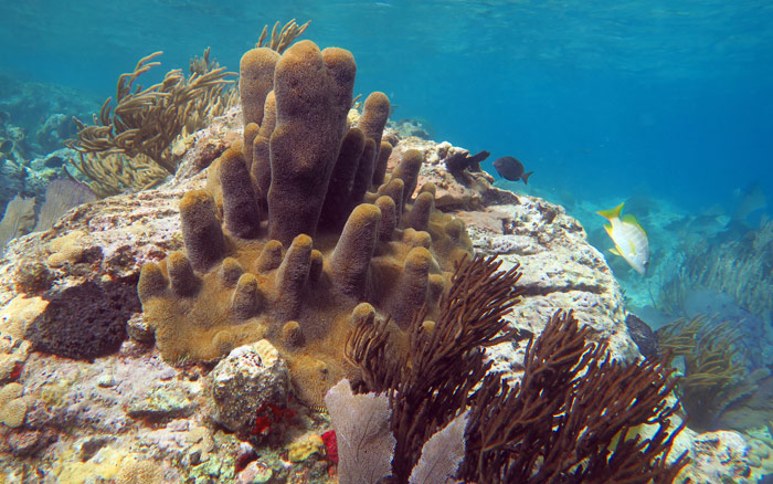 Pillar Coral and soft corals on the back side of Waterlemon Cay