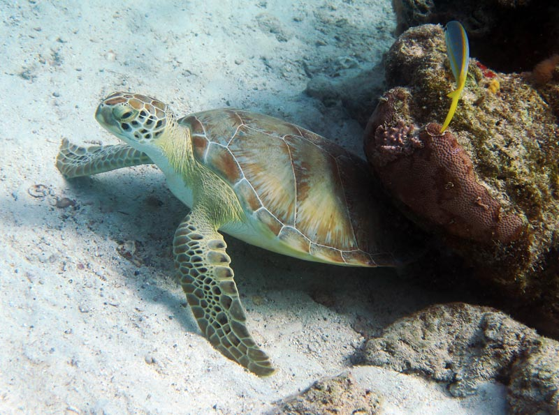 Seeing turtles is common snorkeling in St John