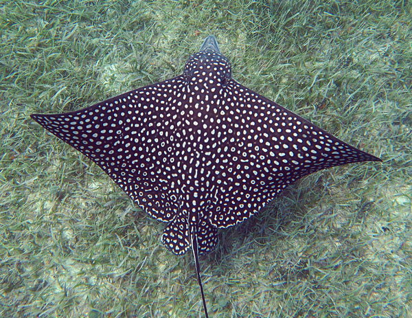 Spotted Eagle Ray over a sea grass bottom