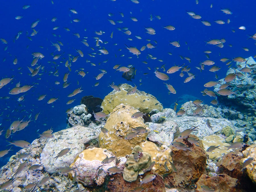 Large schools of chromis hover over the boulders of many reefs in St Lucia.
