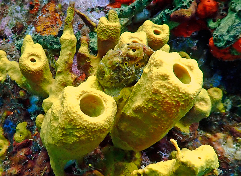 Our first sighting of the elusive frogfish at Superman's Flight, pointed out to us by our outstanding Anse Chastanet guide.