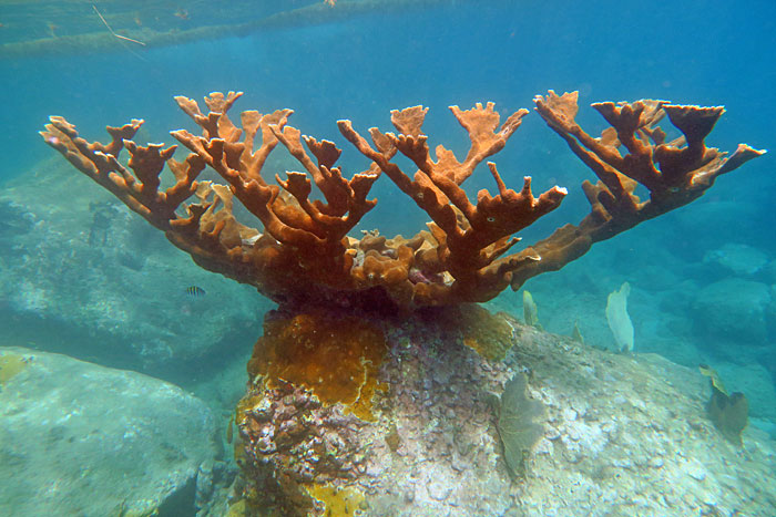 You can see some beautiful lone Elkhorn Corals in a few spots on St Lucia including Trou Diable.