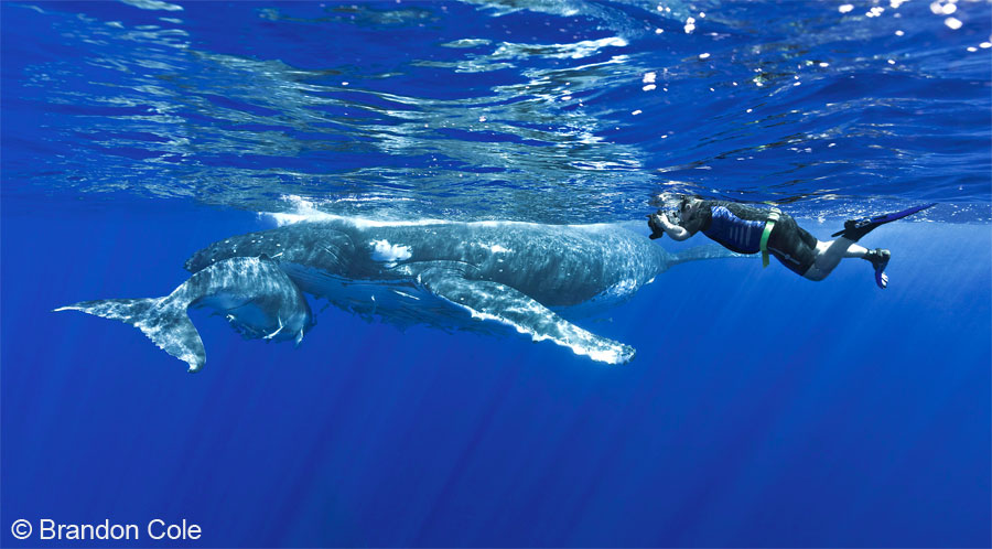 Snorkeler with a Humpback Whale and calf.