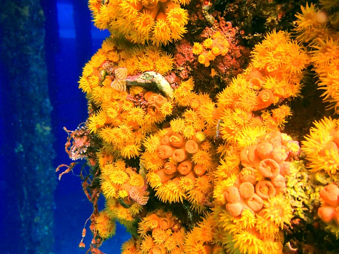 Orange Cup Coral on pilings at Tugboat