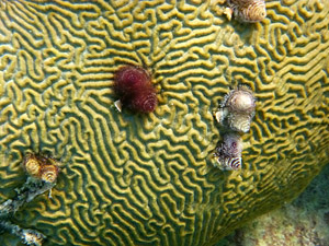 Coral head with Christmas Tree Worms