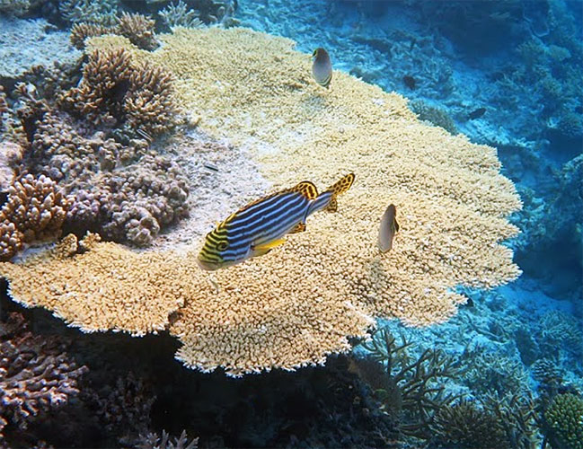 Sweetlips over the reef.