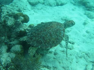 One of the many Green Sea Turtles we saw on this part of the trip.