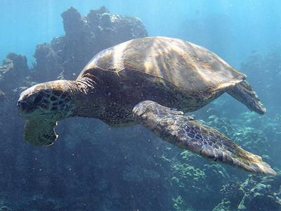 A Maui Green Sea Turtle