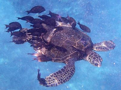 A Maui Green Sea Turtle providing a meal for the surgeonfish cleaners