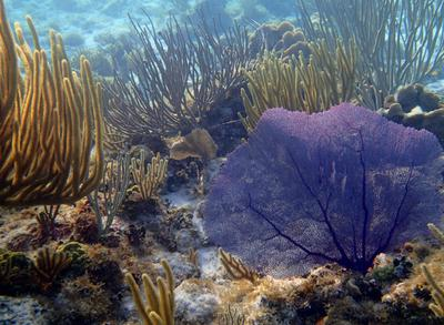 Coral along north coast, Grand Cayman