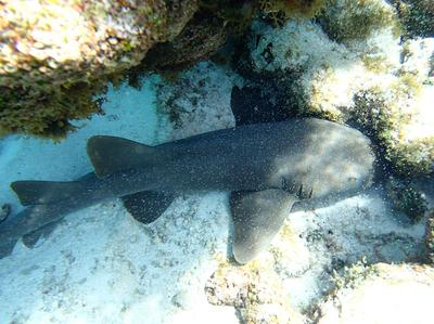 5' Nurse Shark at Lac Bay