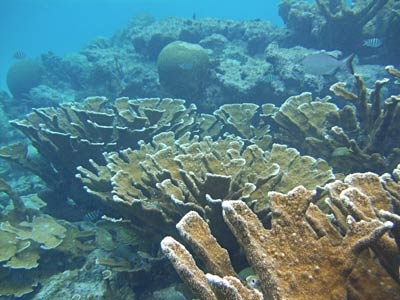 Amazing Elkhorn corals when snorkeling at Shark Ray Alley