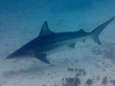 Blacktip Shark at Mimi's Dock, Morritts Tortuga