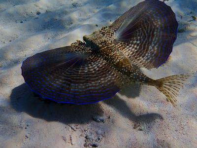 Flying Gurnard at Colliers, Grand Cayman