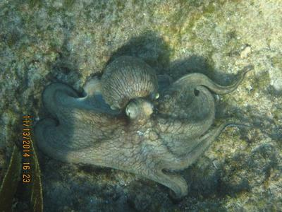 Octopus at Eden Rock
