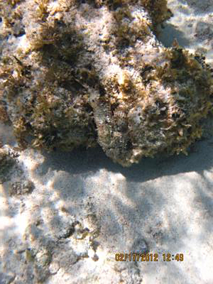 Scorpion fish at Colliers Bay - look close at the middle of the rock, he blends in great...