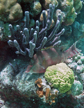 Hogfish and corals in Belize
