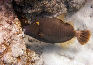 Barred Filefish at Hanauma Bay