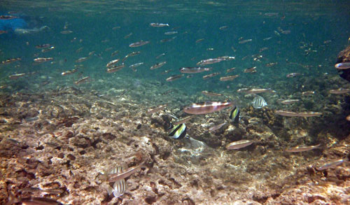 Snorkeling with the fishes at Ko Olina Lagoons