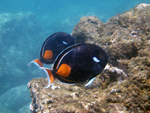 Pair of Achilles Tang at Sharks Cove