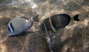 Snorkeling Sharks Cove with Whitebar and Whitespotted Surgeonfish