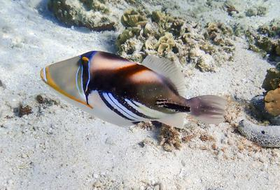 Lady Elliot Island Triggerfish