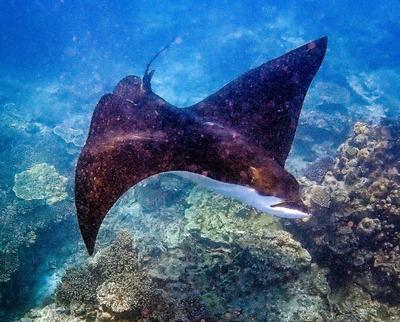 Eagle Ray at Lady Elliot Island